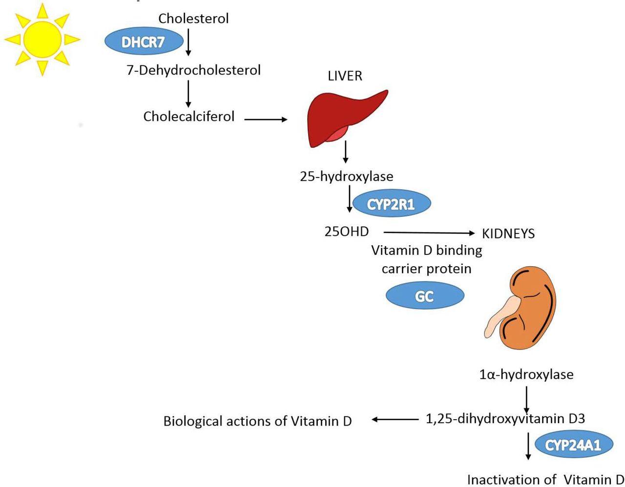 Vitamin D And Covid 19 Susceptibility And Severity A Mendelian Randomization Study Medrxiv