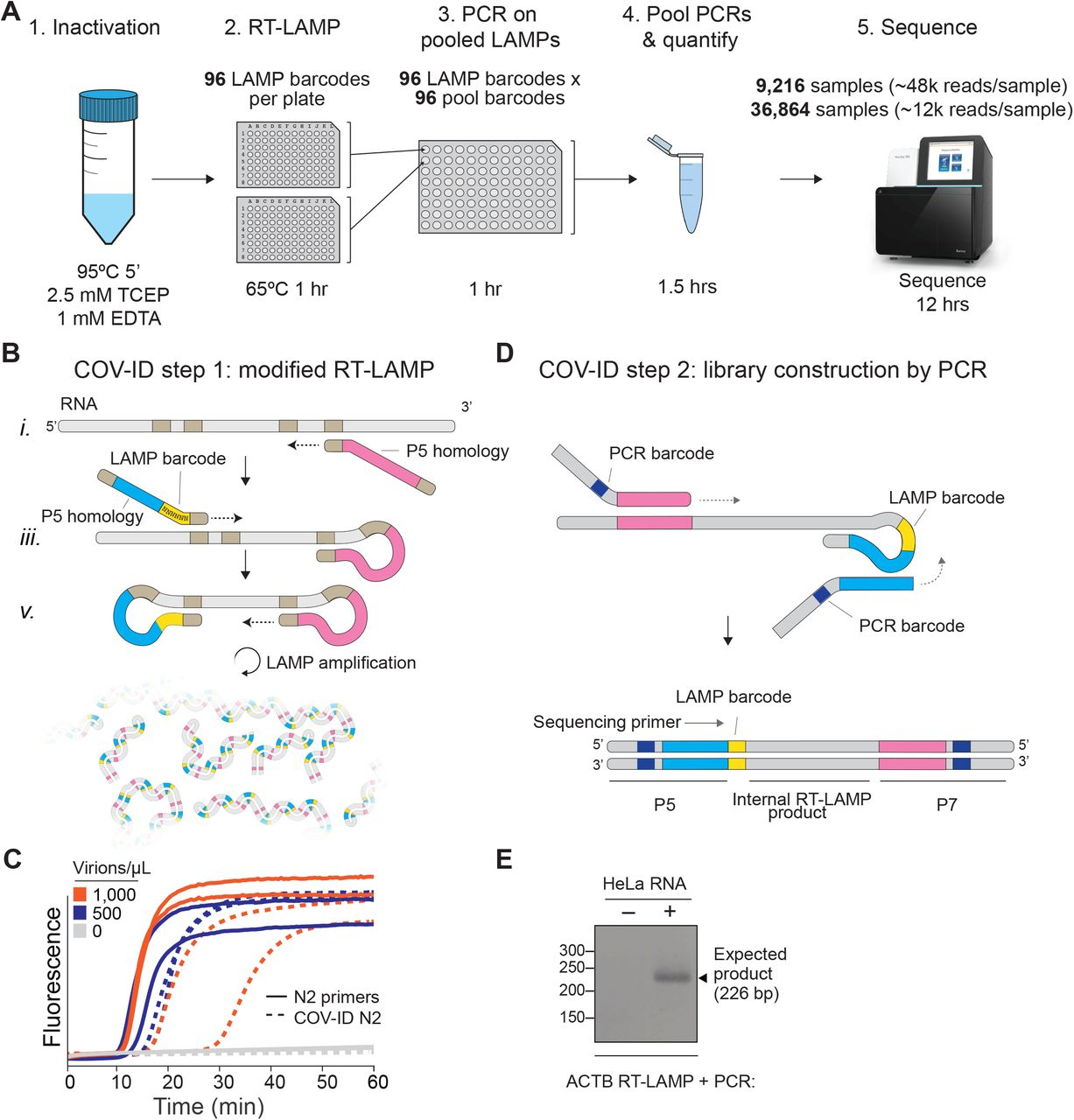 """Barcoding and PCR amplification of <t>RT-LAMP</t> products (A) Overview of COV-ID. Saliva is collected and inactivated prior to RT-LAMP performed with up to 96 individual sample barcoded primers. LAMP reactions are pooled and further amplified via PCR to introduce Illumina adapter sequences and pool-level dual indexes. A single thermal cycler can amplify 96 or 384 such pools and the resulting """"super-pool"""" can be sequenced overnight to detect multiple amplicons from 9,216 or 36,864 individual patient samples (number of reads in parenthesis assume an output of ∼450M reads from a NextSeq 500). (B) Schematic of the RT-LAMP (step I) of COV-ID. Selected numbered intermediates of RT-LAMP reaction are shown to illustrate how the LAMP barcode, shown in yellow, and the P5 and P7 homology sequences (blue and pink, respectively) are introduced in the final LAMP product. Upon generating the dumb-bell intermediate the reaction proceeds through rapid primed and self-primed extensions to form mixture of various <t>DNA</t> amplicons containing sequences for PCR amplification. A more detailed version of the LAMP phase of COV-ID, including specific sequences, is illustrated in Fig. S1 . (C) Conventional RT-LAMP primers (solid lines) or primers modified for COV-ID (dotted lines) were used for RT-LAMP of SARS-CoV-2. The numbers of inactivated SARS-CoV-2 virions per µL is indicated in the color legend. (D) Schematic of the PCR (step II) of COV-ID. Following RT-LAMP, up to 96 reactions are pooled and purified and Illumina libraries are generated directly by PCR with dual-indexed P5 and P7 adapters in preparation for sequencing. (E) COV-ID primers targeting ACTB mRNA were used for RT-LAMP with HeLa total <t>RNA.</t> LAMP was diluted 1:100, amplified via PCR and resolved on 2% agarose gel."""